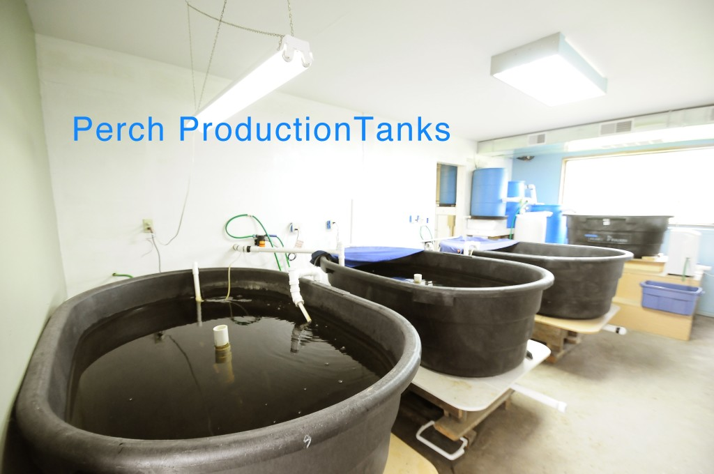 perch production tanks