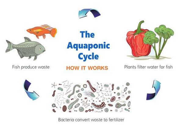 aquaponicscycle